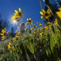 Montana wild flowers