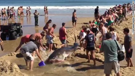 beachgoers try to rescue great white shark ireport sot_00000000