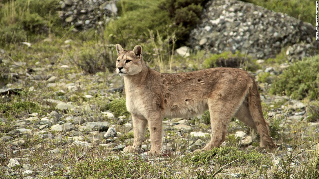 Though distributed from the Canadian Rockies to the southernmost Andes -- and known alternatively as cougars or mountain lions -- pumas have historically been thought of as too elusive for any sort of commercial tourism.