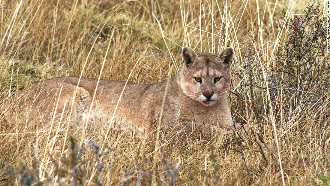 Active from dusk to dawn, pumas are rarely spotted midday.