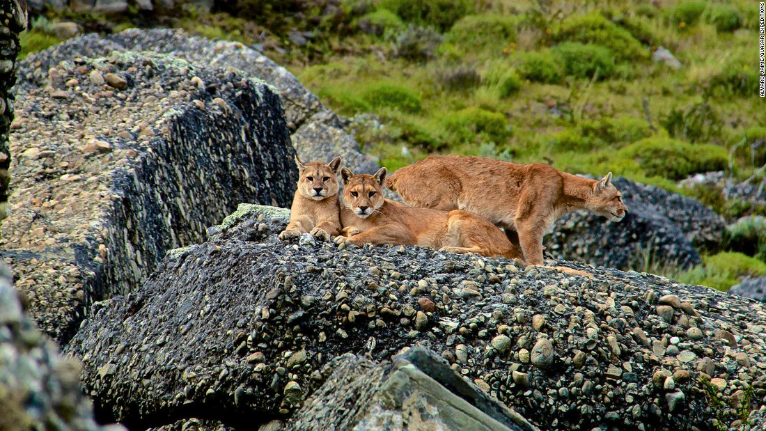Though tricky to spot, pumas inhabit Chile's Torres Del Paine National Park. Quasar Expeditions launched its first puma trekking safaris in the park earlier this year.