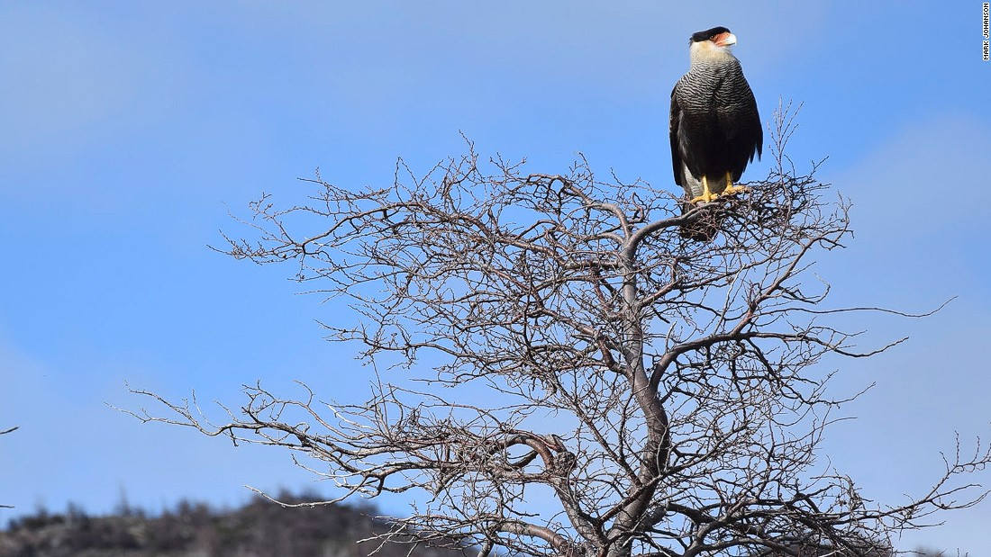 The southern crested caracara often feeds on the animal carcasses leftover from puma attacks.