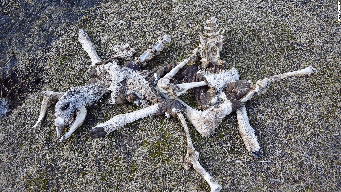 The Fauna Trail, near Laguna Amarga, is littered with guanaco carcasses from puma attacks.