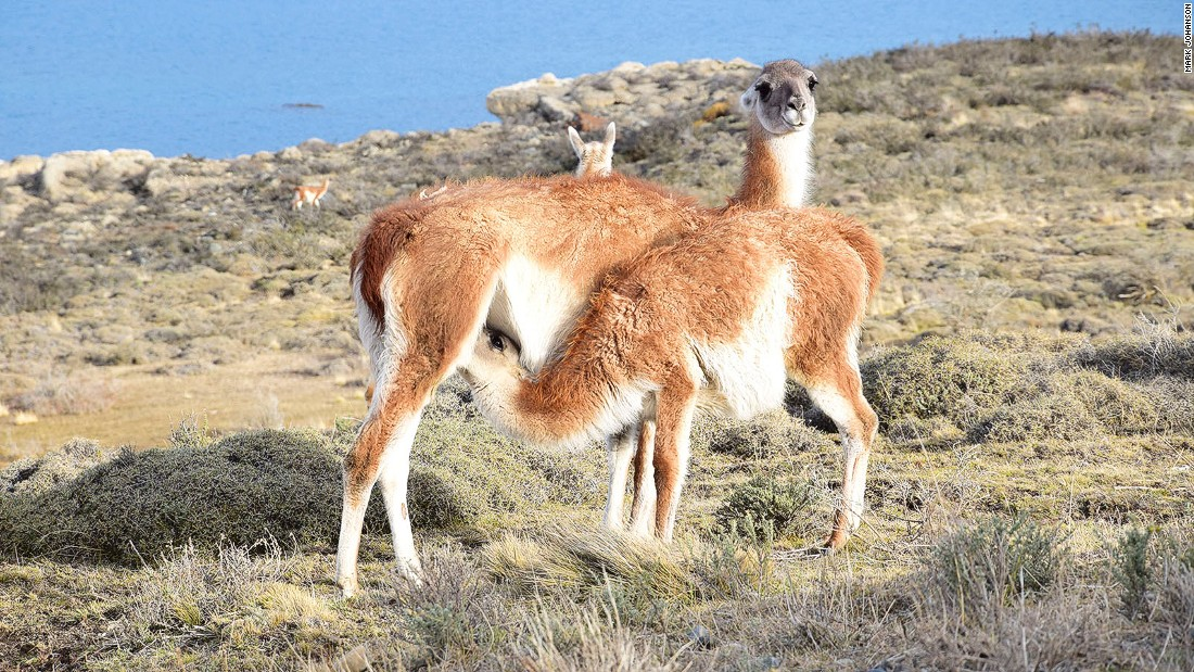 Guanacos are an important food source for pumas in Torres Del Paine National Park. They're common and easily spotted here.