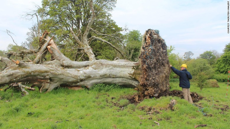 Uprooted tree reveals 1,000-year-old skeleton
