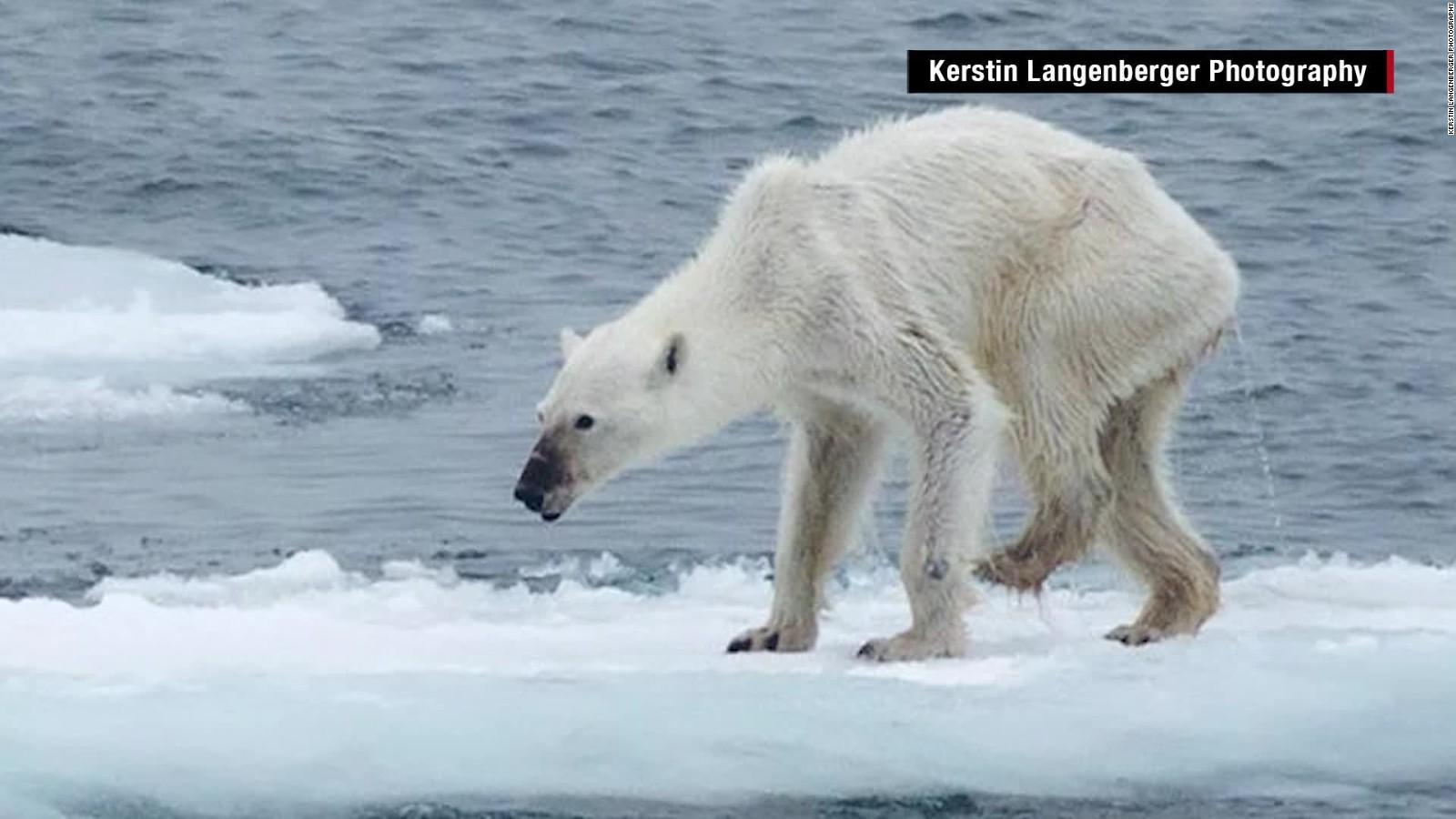 polar bears and climate essay