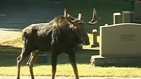 cnnee vo rec moose in a cemetery_00001211
