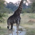 giraffe okavango