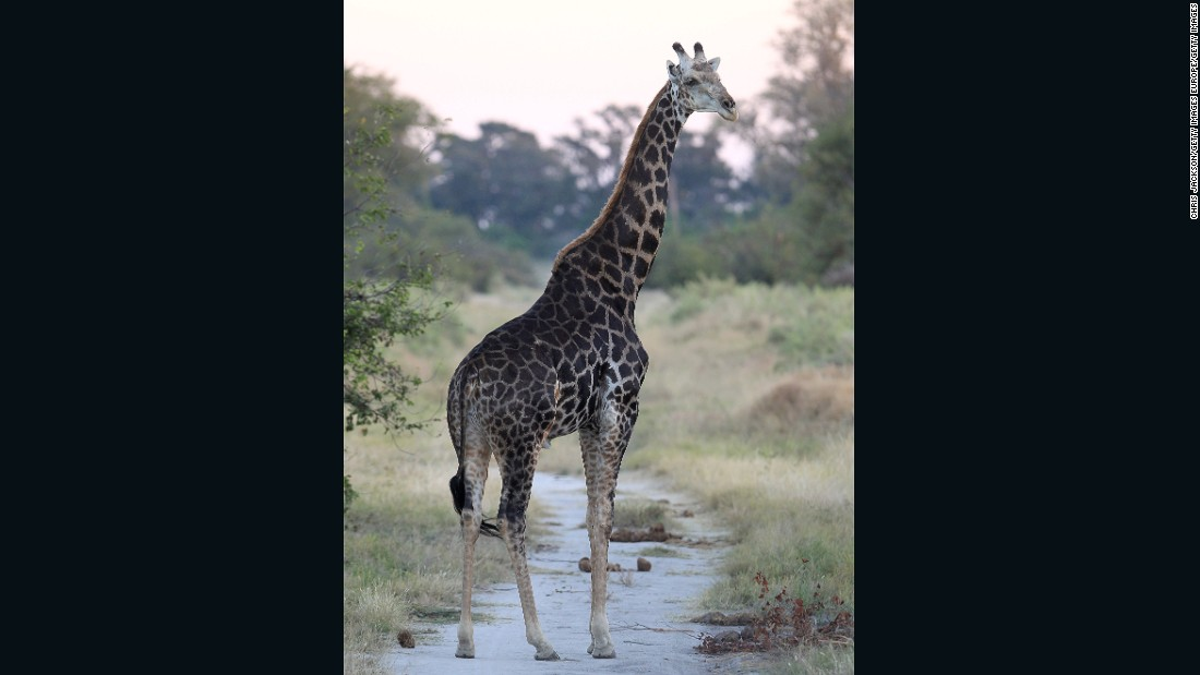A giraffe walks in the evening light in the Delta.