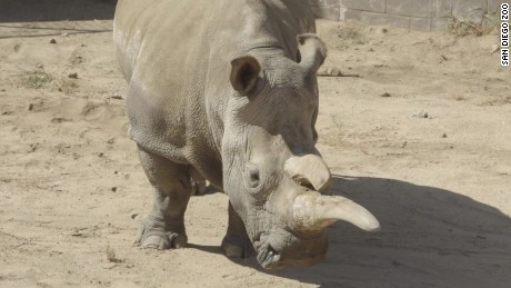 northern white rhino nola sick medical precedure vo_00000209.jpg
