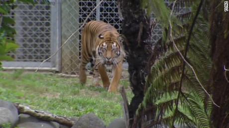 new zealand tiger attack pkg _00002906