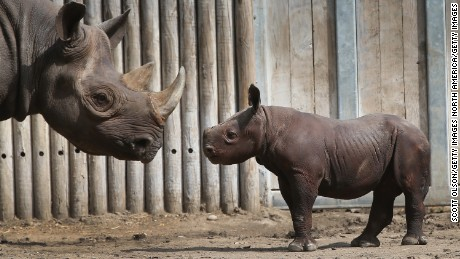 Saving the world's rhinos