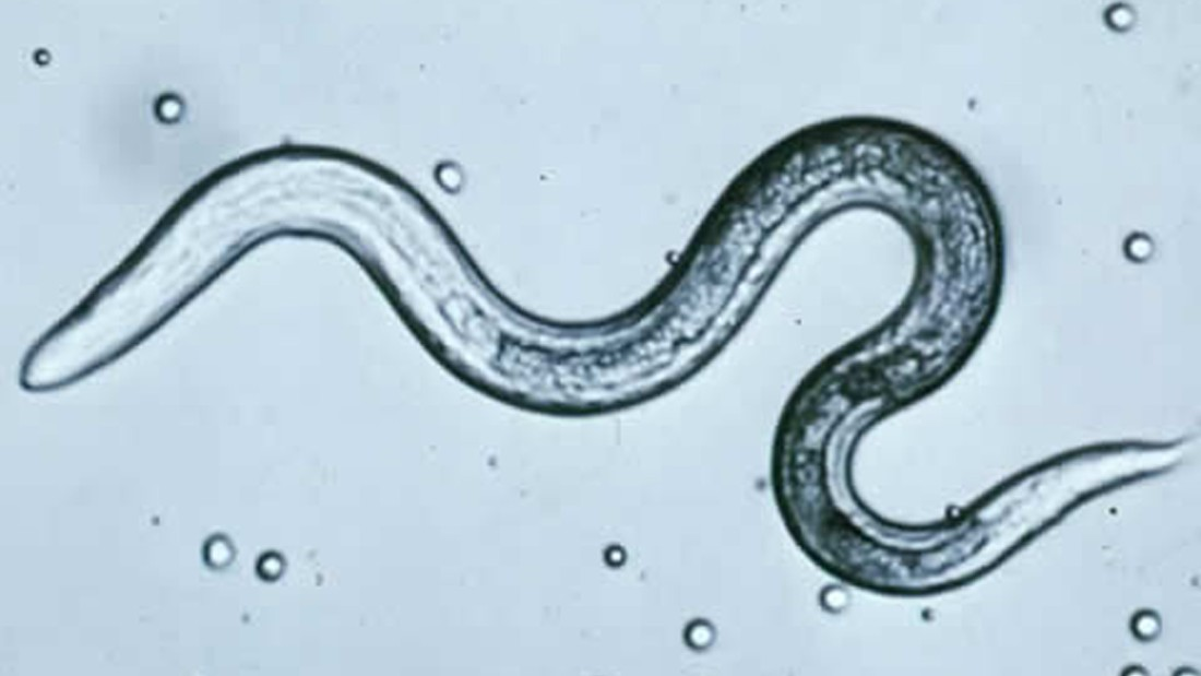 Roundworm In Dogs Scientific Name