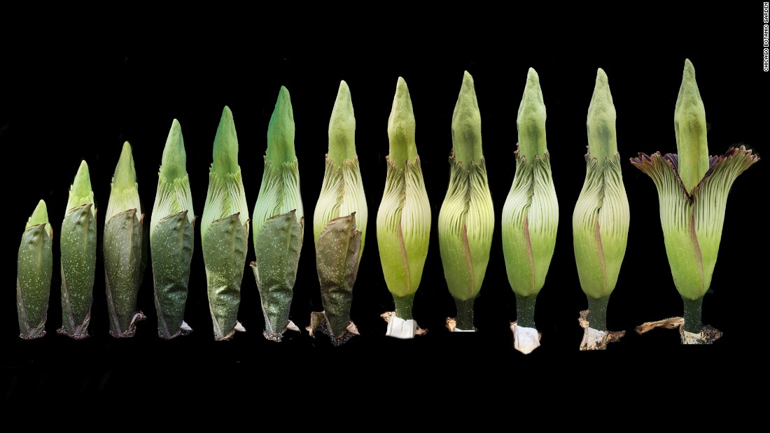 """Alice the corpse flower, also known as Amorphophallus titanium, is blooming at the <a href=""""http://www.chicagobotanic.org/"""" target=""""_blank"""">Chicago Botanic Garden</a>."""