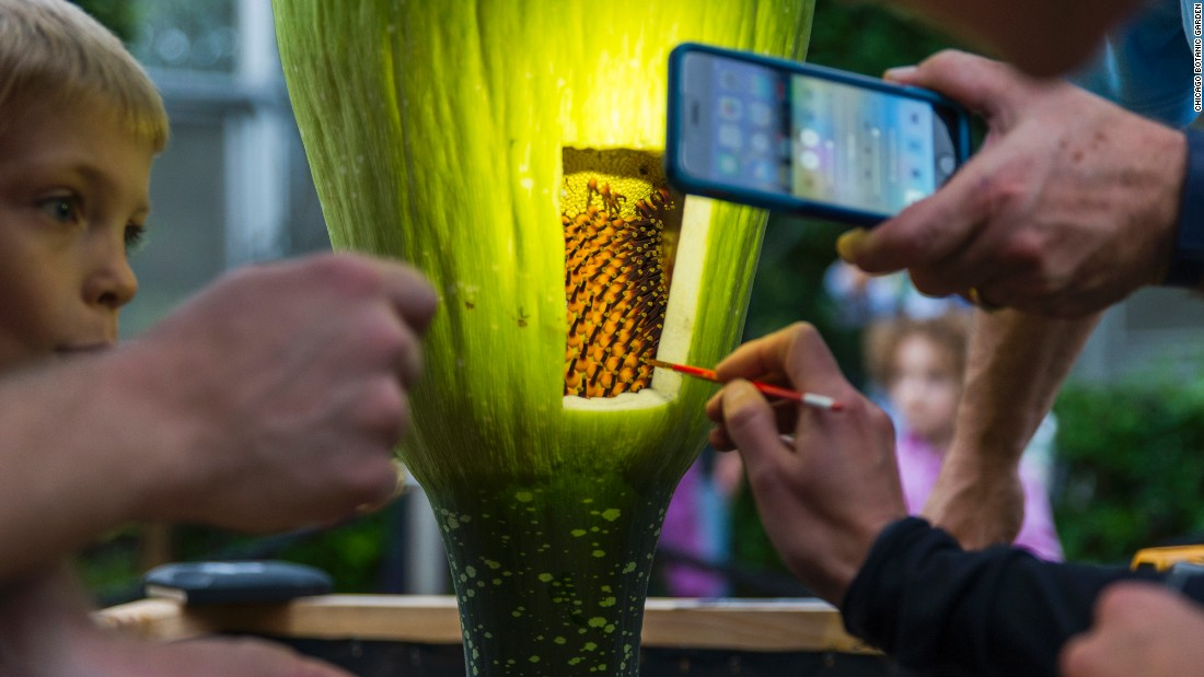 The rare corpse flower blooms every several years, and there's no predictable blooming schedule.