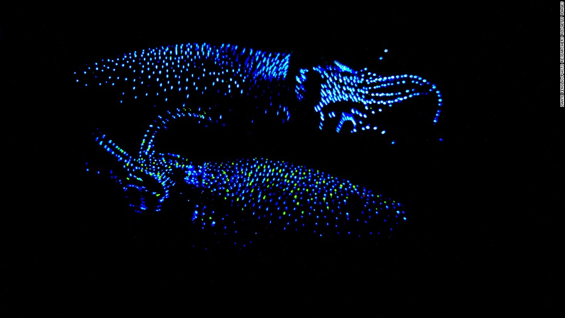 Each year, Watasenia scintillans, or firefly squid, rise up from the deep waters off the coast of Japan to mate.
