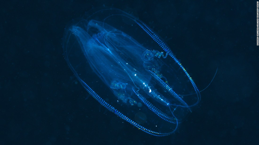 "Comb jellyfish, which evolved more than 500 million years ago, can emit and reflect light, according to the <a href=""https://www.genome.gov/27551984"" target=""_blank"">National Human Genome Research Institute</a>."