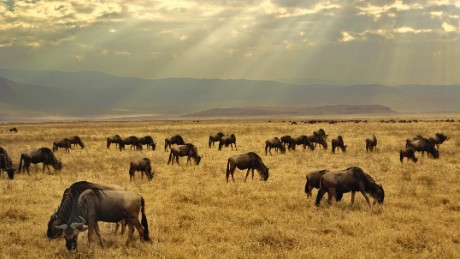 Sunbeams through the clouds on a grazing herd of Wildebeests (Connochaetes taurinus) on the savanna in the Ngorongoro Crater, Tanzania, Africa