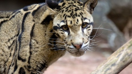 """Researchers at the University of Georgia's Regenerative Bioscience Center extracted skin cells from Clouded leopard """"Moby."""" They believe the """"frozen zoo"""" of stem cells they are creating will someday allow for easily breed and repopulate endangered species. Moby was euthanized in 2013 after suffering several months of age-related complications."""