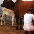 india murder beef 02