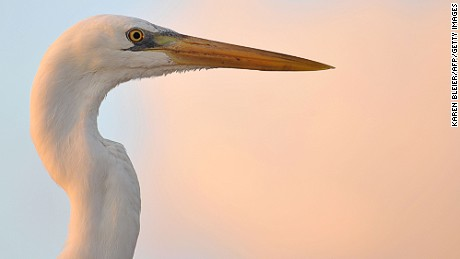 According to local lore, ibis are the last wildlife to take shelter before a hurricane hits.