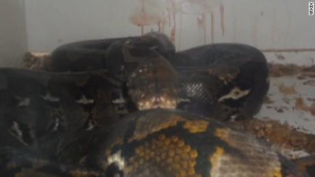 python snake attack owner pkg_00005015