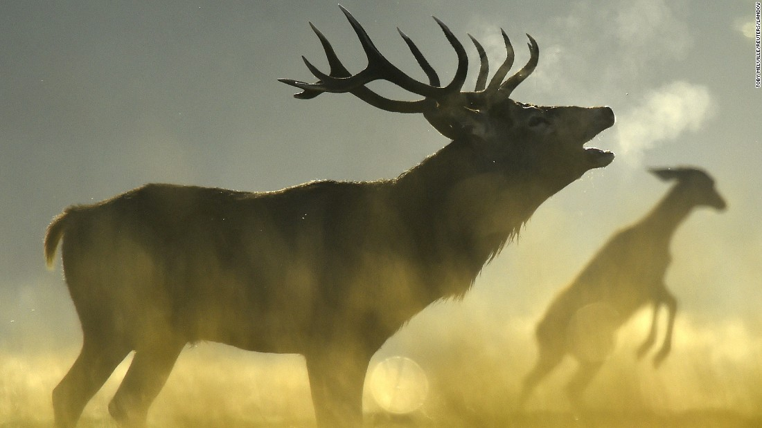 A red deer roars in the morning sun in London's Richmond Park. The park has had deer since 1529, and breeding season begins in the early fall.