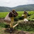 rwanda tea pickers