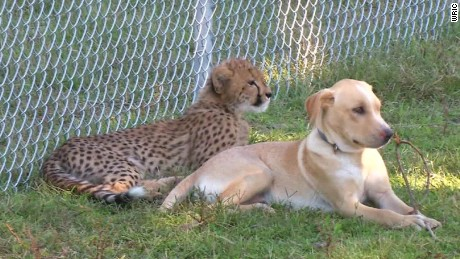 cheetah dog best friends virginia _00000217