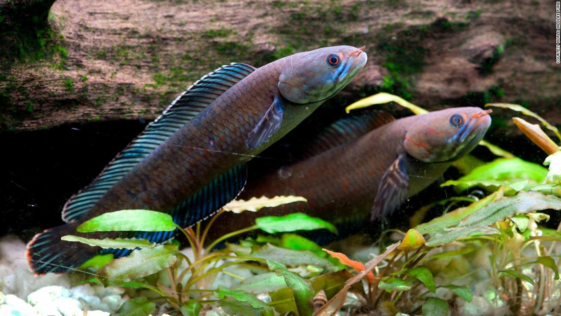 "Another discovery, the vibrant blue dwarf ""walking"" snakehead fish, or Channa andrao, can breathe air and survive on land for up to four days, the World Wildlife Fund said in its report."