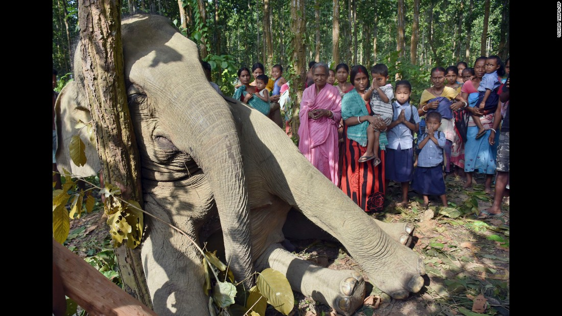 An Indian boy offers prayers as others gather near a dead elephant in the eastern Indian state of Assam on Wednesday, October 7. The elephant was killed when a tree he had uprooted to eat fell on an electric tower. Locals told the photographer the rest of the herd tried to help but were scared by the jolts of power and finally abandoned the scene.
