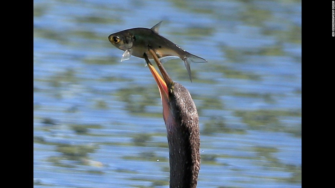 An American anhinga spears a fish on Saturday, October 3, in Ponte Vedra, Florida.