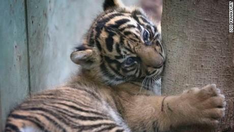 Tiger cub, born recently at the Frankfurt Zoo.