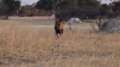 cecil the lion update kriel lklv _00004422
