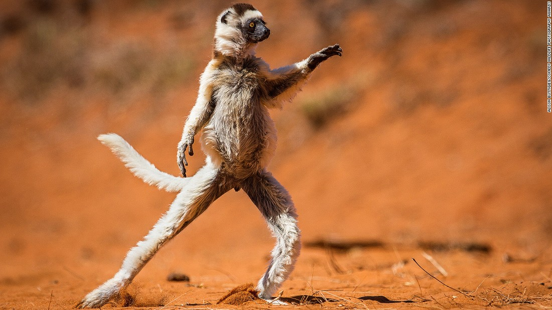 "Photographer Alison Buttigieg captured this adorable white sifaka in Madagascar. We can't figure out whether he's busting out his ""Saturday Night Fever"" moves or in the middle of a serious yoga session."