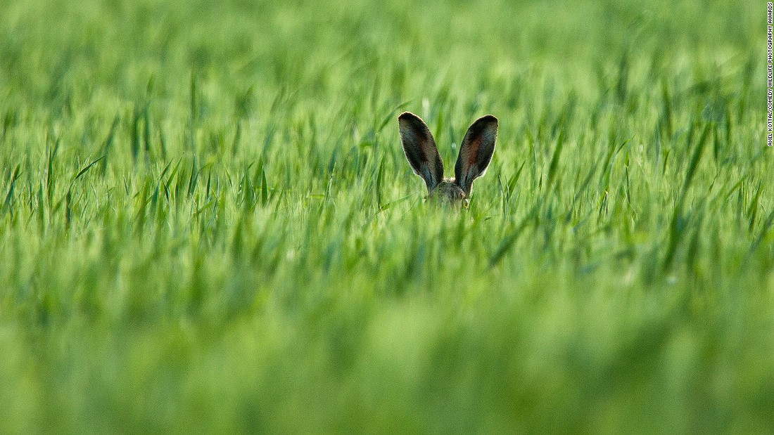 This poor hare, snapped by photographer Axel Kottal, just couldn't figure out why he kept losing every time they played hide and seek.