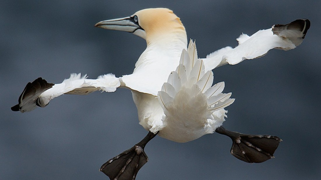 This quirky bird flying with his feet stuck out, snapped by photographer Charlie Davidson, reminds us of an airplane that's just released its landing gear.