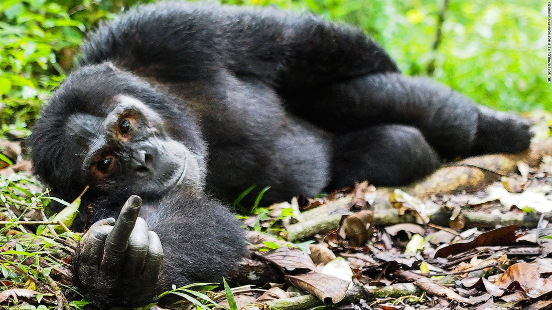 Look into those eyes. This gorilla, photographed by Gil Gofer, knows exactly what that finger means.