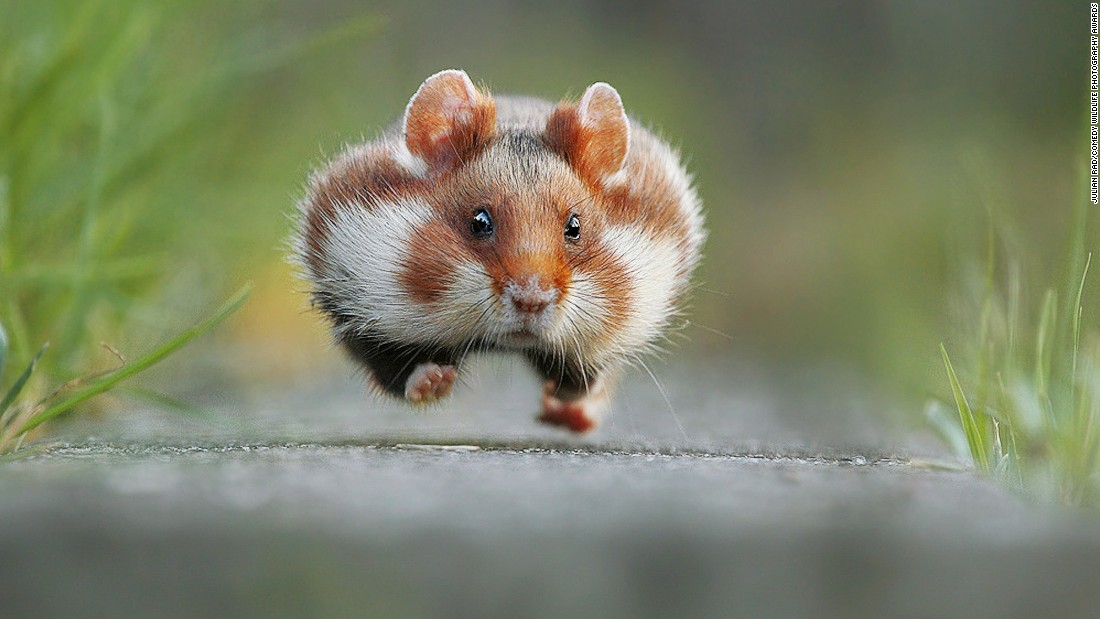 Photographer Julian Rad snapped this shot of a furry little critter in a hurry to get somewhere.