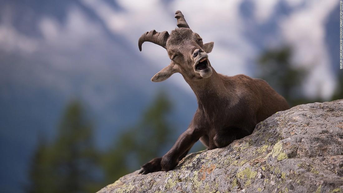 """""""Why did the ram run over the cliff? He didn't see the ewe turn!"""" Photo by Yuzuru Masuda."""