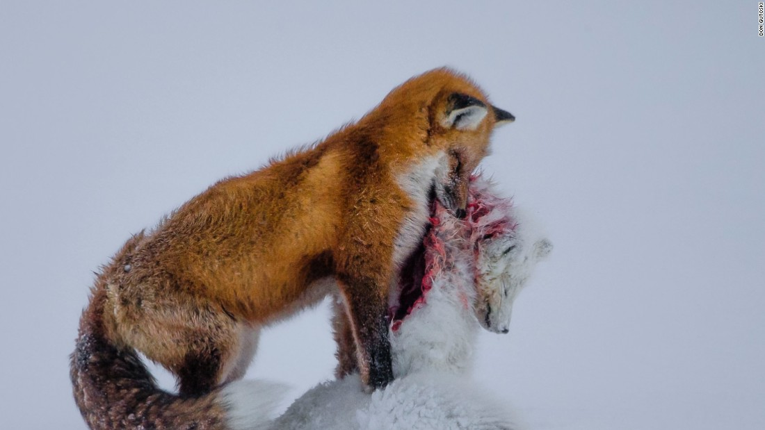 <strong>Category: Mammals</strong><br />A tale of two foxes<em> </em>by Don Gutoski, Canada.<br />In the Canadian tundra, the range of red foxes is extending northwards, where they increasingly cross paths with their smaller relatives, the Arctic fox. For Arctic foxes, red foxes now represent not just their main competitor -- both hunt small animals such as lemmings -- but also their main predator.