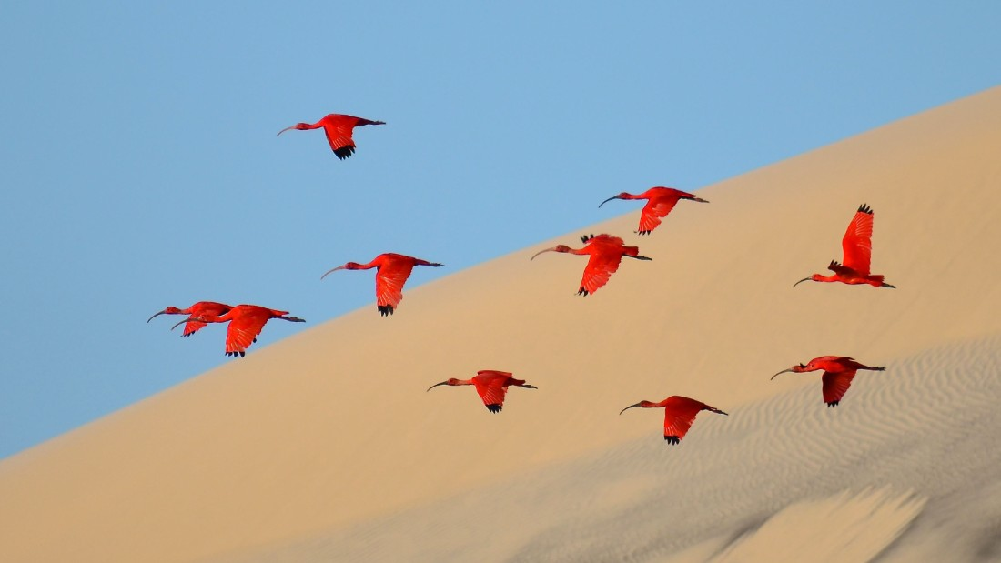 <strong>Category: 15-17 Years Old</strong><br />Flight of the scarlet ibis<em> </em>by Jonathan Jagot, France.<br />Steering the dinghy slowly up the estuary on Ilha do Lençóis, Jagot went in search of scarlet ibis, leaving his family behind on the sailing boat.