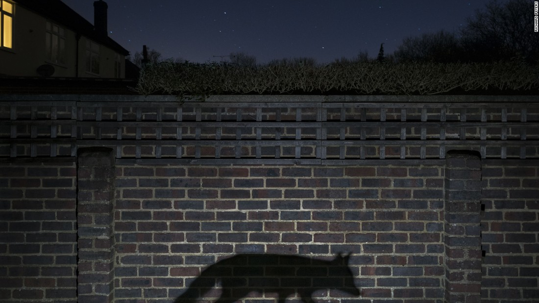 <strong>Category: Urban</strong><br />Shadow walker by Richard Peters, UK.<br />This image captures the the truth of human interaction with the urban fox: rarely more than a glimpse or a shadow.