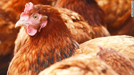 CDC report crushes your chicken-kissing dreams
