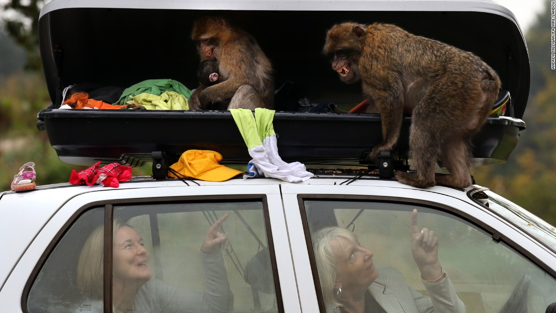 In a stunt to mark the opening of Scotland's only monkey drive-through, Barbary macaques at Blair Drummond Safari Park demonstrate why drivers should always lock their luggage compartment.