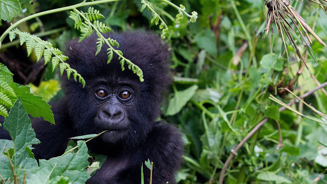 It's a tough slog, but the trek deep into the rainforest of Rwanda's Volcanoes National Park brings you face to face with one of the few mountain gorillas still alive anywhere. Meeting them can changes the very idea of what it means to be human.