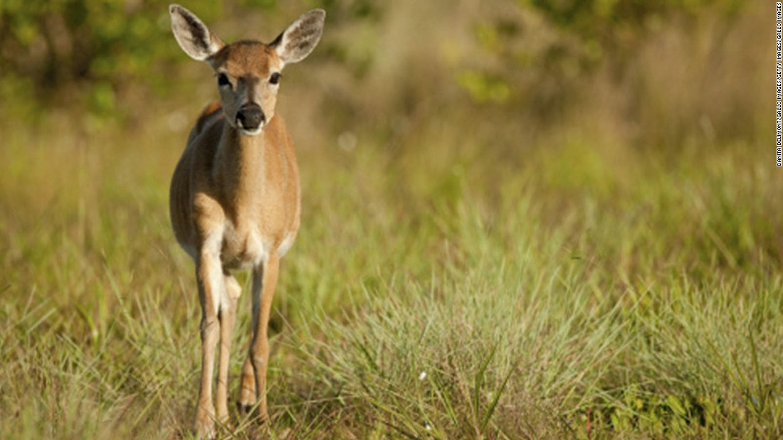 Key deer are the smallest deer in North America -- about the size of a large dog. The endangered species can be found at the National Key Deer Refuge on Big Pine Key.