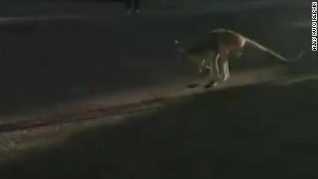 cnnee vo kangaroo lost in NY _00000425