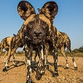 Africa-on-Safari---Wild-Dog