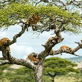 Africa-on-Safari--Tree-Lion